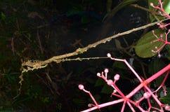 Ciérrese encima de imagen de un insecto de palillo bien camuflado fotografía de archivo libre de regalías