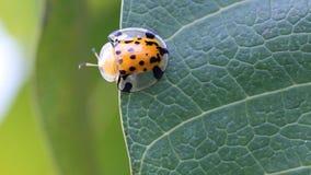 Ciérrese encima de insecto de la señora en las hojas verdes. metrajes
