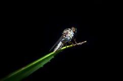 Ciérrese encima de insecto en fondo negro Fotografía de archivo