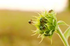 Ciérrese encima de insectos coloridos en el girasol joven Imagen de archivo libre de regalías
