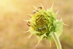 Ciérrese encima de insectos coloridos en el girasol joven Imágenes de archivo libres de regalías