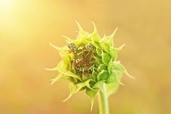 Ciérrese encima de insectos coloridos en el girasol joven Fotografía de archivo libre de regalías