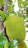 Ciérrese encima de jackfruit crudo Fotografía de archivo