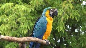 Ciérrese encima de 4k tirado del género tropical neo gracioso hermoso pájaro colorido del macaw del loro del ara del plumaje con  almacen de metraje de vídeo