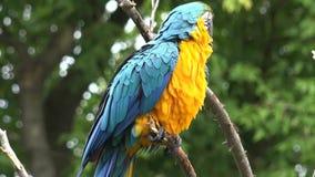 Ciérrese encima de 4k tirado del género tropical neo hermoso gracioso pájaro colorido del macaw del loro del ara del plumaje con  metrajes