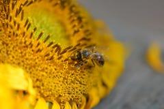 Ciérrese encima de la abeja macra que trabaja en el girasol Foto de archivo libre de regalías