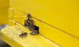 Ciérrese encima de la abeja que recoge el néctar y el polen de una flor y de un movi Imagenes de archivo