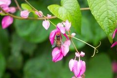 Ciérrese encima de la abeja que recoge la miel en la flor rosada Imágenes de archivo libres de regalías