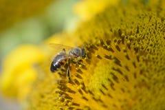 Ciérrese encima de la abeja que trabaja en el girasol Fotografía de archivo libre de regalías