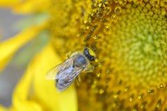 Ciérrese encima de la abeja que trabaja en el girasol Fotografía de archivo