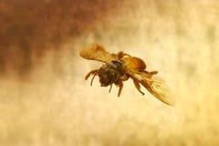 Ciérrese encima de la abeja y de la miel, panal Fotos de archivo libres de regalías