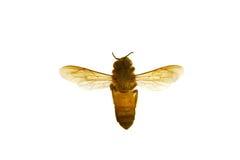 Ciérrese encima de la abeja y de la miel, panal Imagenes de archivo