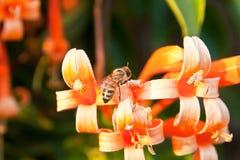 Ciérrese encima de la abeja y de la trompeta anaranjada, flor de llama, vid del petardo Fotos de archivo