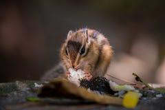 Ciérrese encima de la ardilla listada que come el arroz en el ajuste natural del bosque Foto de archivo libre de regalías