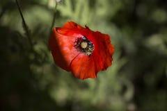 Ciérrese encima de la cabeza de la amapola Amapola roja Campo de flores rojo de la amapola Papaver Foto de archivo