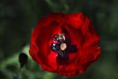 Ciérrese encima de la cabeza de la amapola Amapola roja Campo de flores rojo de la amapola Papaver Fotografía de archivo