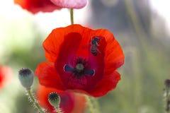 Ciérrese encima de la cabeza de la amapola Amapola roja Campo de flores rojo de la amapola Papaver Imagen de archivo