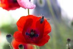 Ciérrese encima de la cabeza de la amapola Amapola roja Campo de flores rojo de la amapola Papaver Fotos de archivo