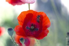 Ciérrese encima de la cabeza de la amapola Amapola roja Campo de flores rojo de la amapola Papaver Fotos de archivo libres de regalías