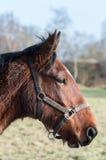 Ciérrese encima de la cabeza de caballo marrón Fotografía de archivo libre de regalías