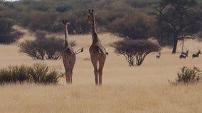 Ciérrese encima de la cantidad de la jirafa en los llanos de la sabana del Kalahari en Suráfrica metrajes