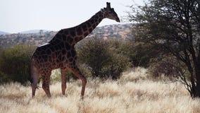 Ciérrese encima de la cantidad de la jirafa en los llanos de la sabana del Kalahari en Suráfrica almacen de video