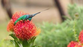 Ciérrese encima de la cantidad de un néctar de consumición del sunbird de la malaquita fuera de un protea del acerico en el área  almacen de metraje de vídeo