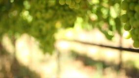 Ciérrese encima de la cantidad de viñedos/de uvas de tabla en el valle de Hexriver en Suráfrica almacen de video