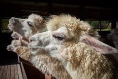 Ciérrese encima de la cara de la vista lateral de las alpacas de la llama en granja del rancho Fotos de archivo