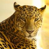 Ciérrese encima de la cara del animal de Jaguar fotografía de archivo