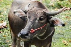 Ciérrese encima de la cara del búfalo en potrait en campo Imagenes de archivo