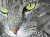 Ciérrese encima de la cara del gato con los ojos verdes macros Imágenes de archivo libres de regalías