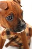 Ciérrese encima de la cara del perrito del boxeador fotos de archivo