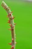 Ciérrese encima de la espina color de rosa del árbol Imagen de archivo libre de regalías