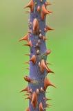 Ciérrese encima de la espina color de rosa del árbol Foto de archivo libre de regalías