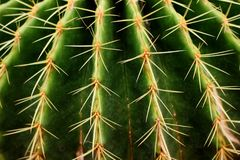 Ciérrese encima de la espina verde hermosa del cactus Fotografía de archivo libre de regalías