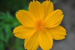 Ciérrese encima de la flor amarilla del cosmos Imágenes de archivo libres de regalías