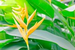 ciérrese encima de la flor amarilla hermosa de Canna y del backround verde de la hoja Fotografía de archivo libre de regalías