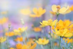 ciérrese encima de la flor amarilla hermosa y de la falta de definición púrpura del cielo azul Fotografía de archivo libre de regalías