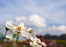 Ciérrese encima de la flor blanca del cosmos Imagenes de archivo