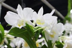 Ciérrese encima de la flor blanca de las orquídeas en la feria del jardín imagen de archivo libre de regalías