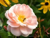 Ciérrese encima de la flor color de rosa de la hada rosada Foto de archivo
