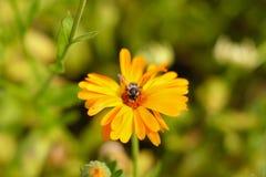 Ciérrese encima de la flor con la abeja en ella Fotografía de archivo libre de regalías