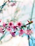 Ciérrese encima de la flor de cerezo Himalayan salvaje hermosa Imágenes de archivo libres de regalías