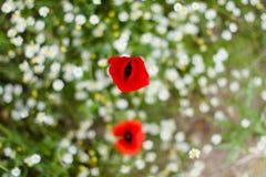 Ciérrese encima de la flor de la amapola Fotografía de archivo