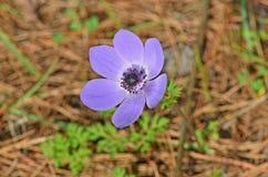 Ciérrese encima de la flor de la anémona Fotografía de archivo
