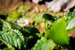 Ciérrese encima de la flor de la fresa Foto de archivo libre de regalías