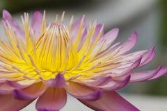 Ciérrese encima de la flor de loto Fotos de archivo