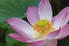 Ciérrese encima de la flor de loto Imagen de archivo