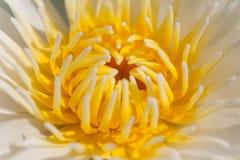 Ciérrese encima de la flor de Lotus Fotos de archivo libres de regalías